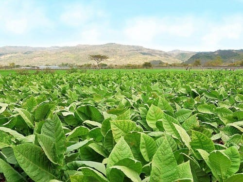 perdomo esteli tobacco plantation volcanic soil