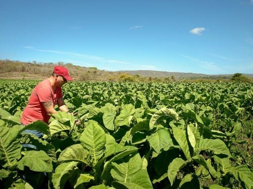 aj fernandez in the middle of tobacco plants inspecting tobacco field