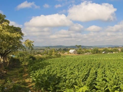 tobacco plantation pinar del rio vuelta abajo cuba sun grown