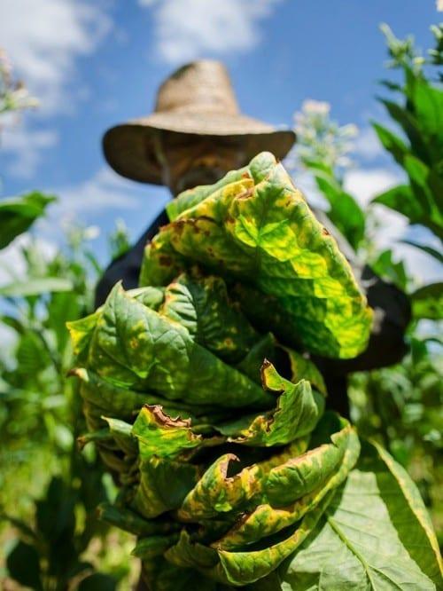 one day estanislao acosta tobacco leaves front