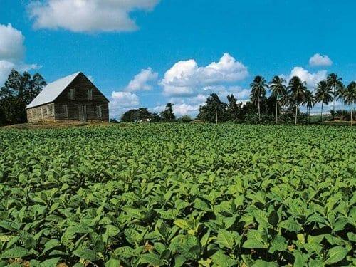 Honduras Tabakfeld