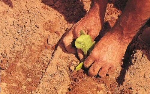 Tabakanbau: Setzlinge werden in den Boden gepflanzt